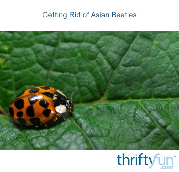 Get rid of asian lady beetles