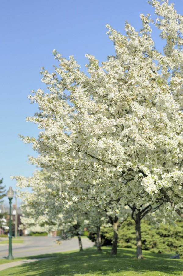 Growing A Bradford Pear Tree Thriftyfun