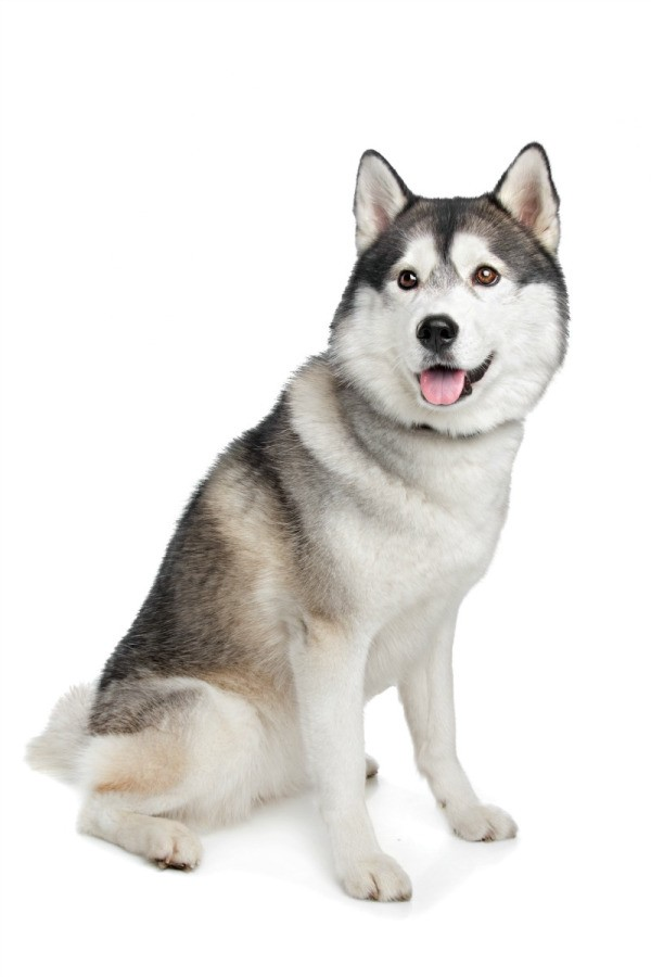 Siberian husky breed information and photos thriftyfun - Pictures of siberian huskies ...