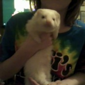 A white ferret being held by a girl
