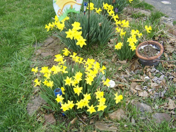 Clumps of daffodils.