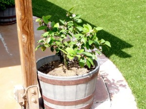 Lemon tree in half barrel.