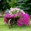 A wheelbarrow planter.