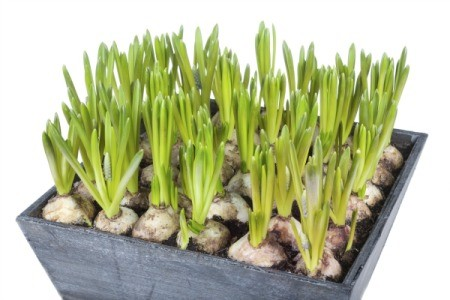 Forcing Hyacinth Bulbs