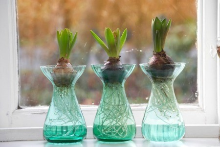 Bulbs growing in water on a window sill.