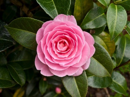 Growing Camellias