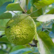 "Osage Orange Tree ""Hedge Apple"""