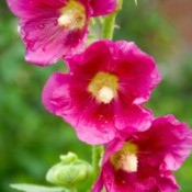 Blooming Hollyhocks