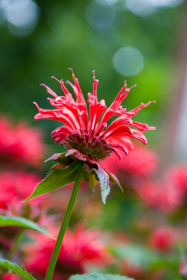red bee balm flower closeup