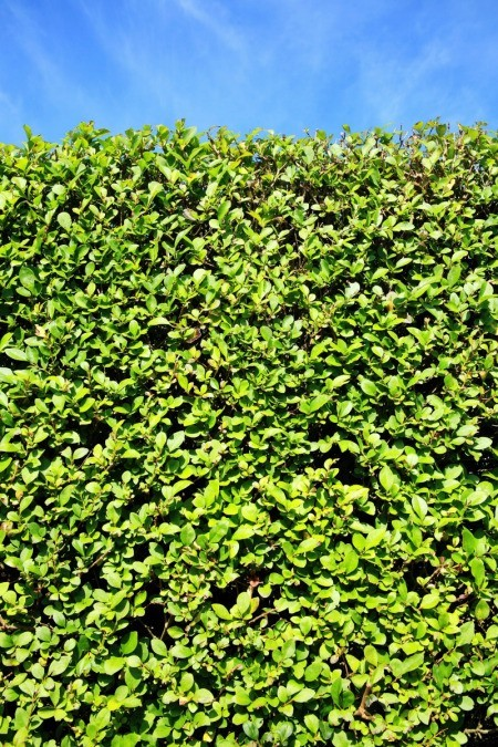 Privet Hedge