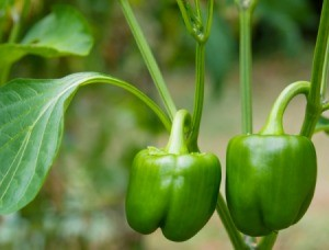 green peppers growing