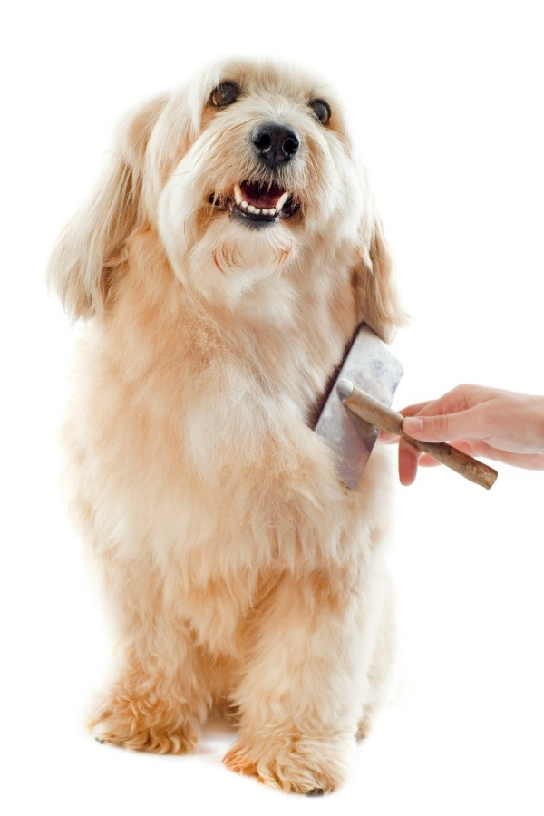brushing a dog