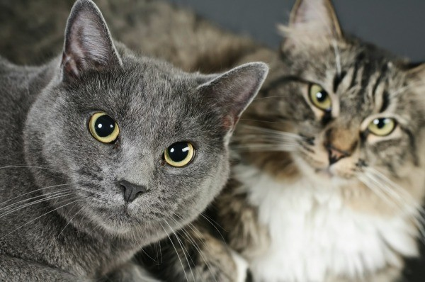 Tips for Introducing Cats | ThriftyFun