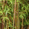 Clumps of bamboo growing.