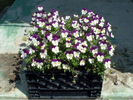 Crate filled with purple and white pansies.