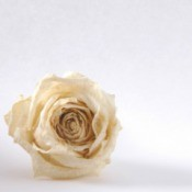 Dried White Rose