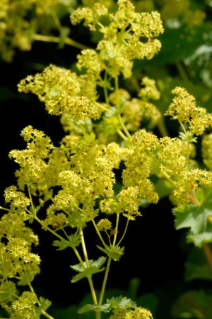 Lady's Mantle