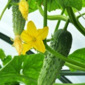 Cucumbers growing.