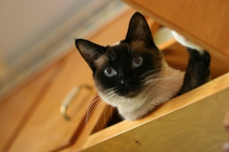 A cat in a kitchen cabinet.