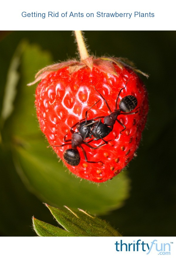 getting rid of ants on strawberry plants