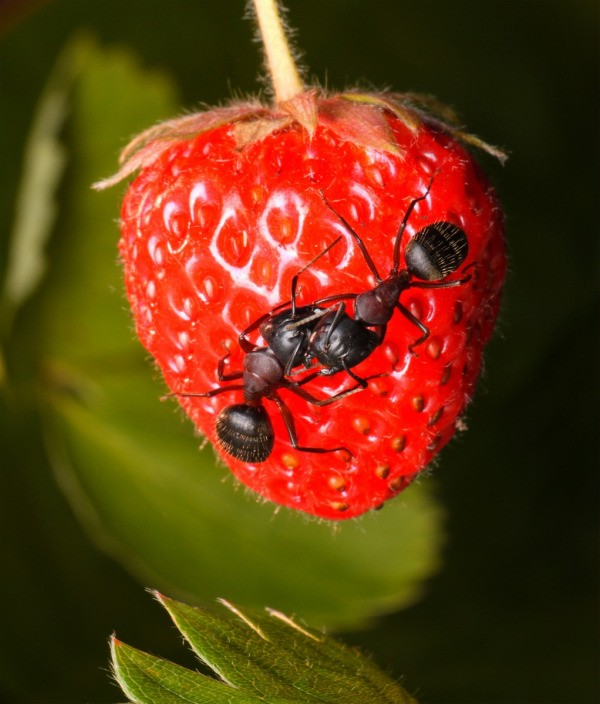 A strawberry with ants on it.