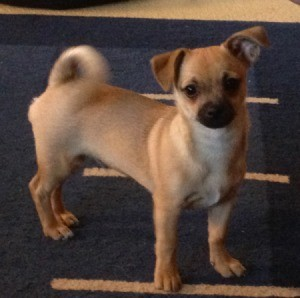 Tan Pug Chihuahua mix.