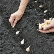 Garlic being planted into garden soil mix.