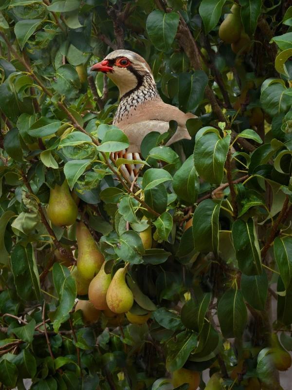 partridge_in_a_pear_tree_l6.jpg