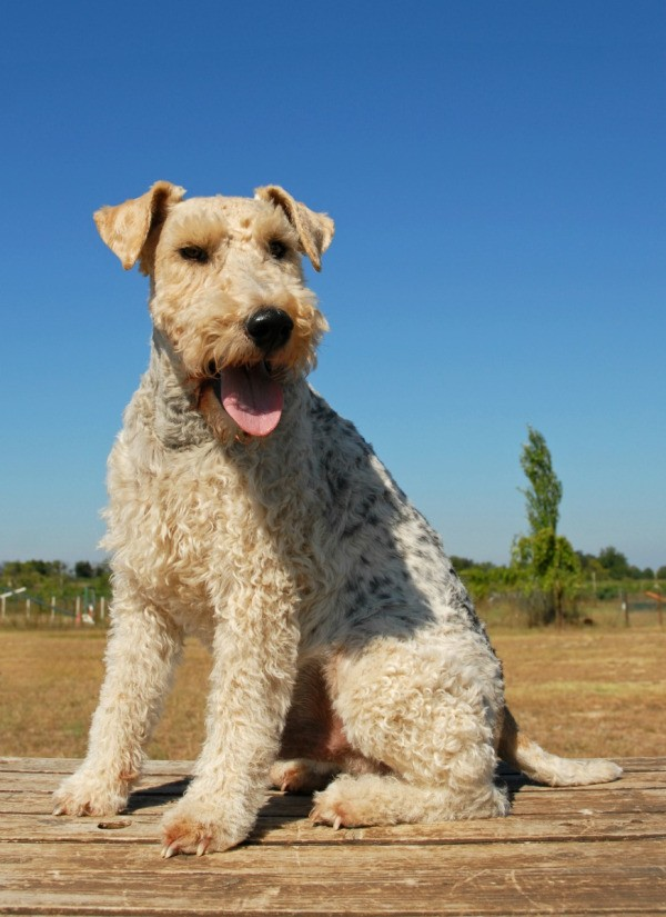 Wirehaired fox terrier breed info