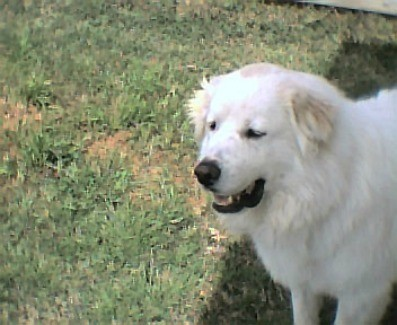 Spencer (Great Pyrenees)