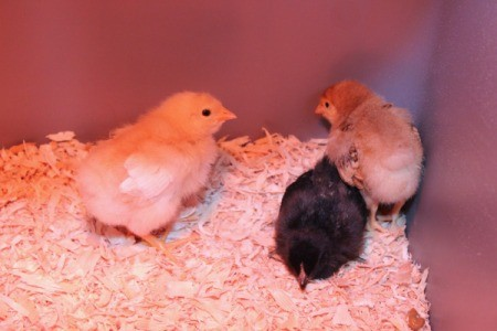 1 week old chicks