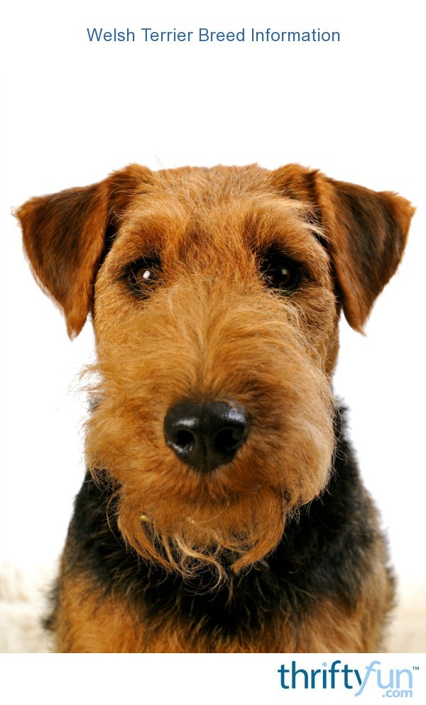 Welsh Terrier Related ...
