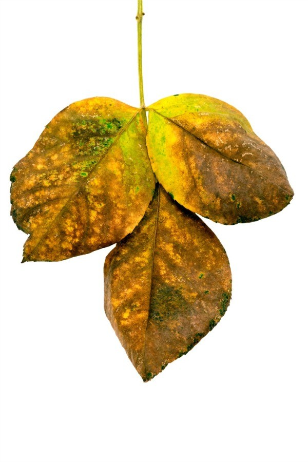 Leaves Turning Yellow