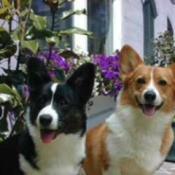 Cardigan Welsh Corgi - two Corgis sitting