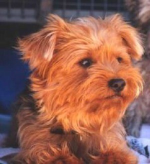 Billy (Yorkshire Terrier)