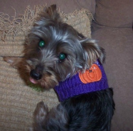 Oso (Yorkshire Terrier)