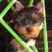 Chester (Yorkshire Terrier)