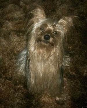 Pockets (Yorkshire Terrier)