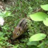 Wildlife: Chipmunk