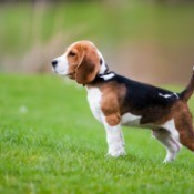 Beagle in the grass.