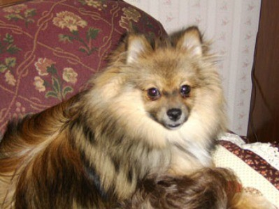 Pomeranian sitting on a chair.