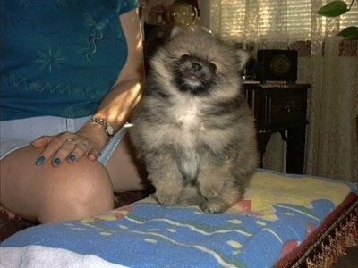 weighed 1 14 lbs  but now Pomeranian 10 Lbs