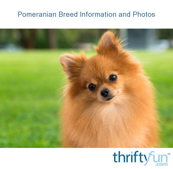 Pomeranian Breed Information And Photos