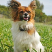 Papillon sitting in the grass.
