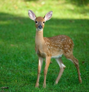 Fawn (Baby Deer) standing in the grass.