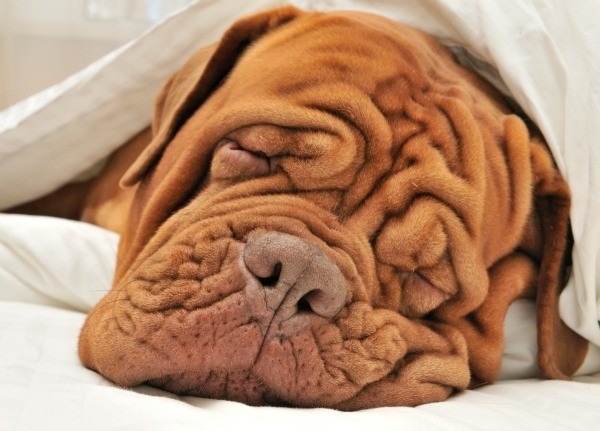 A Shar Pei dog under a blanket.