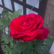 Closeup of pretty red rose.