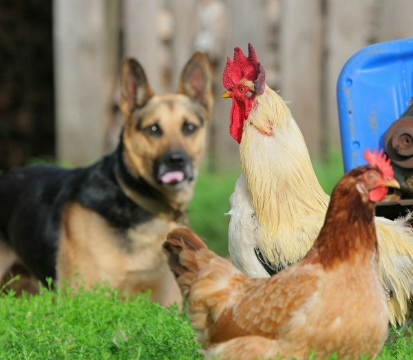 Large dog sitting near chickens.