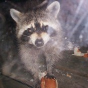 Zorro (Raccoon)