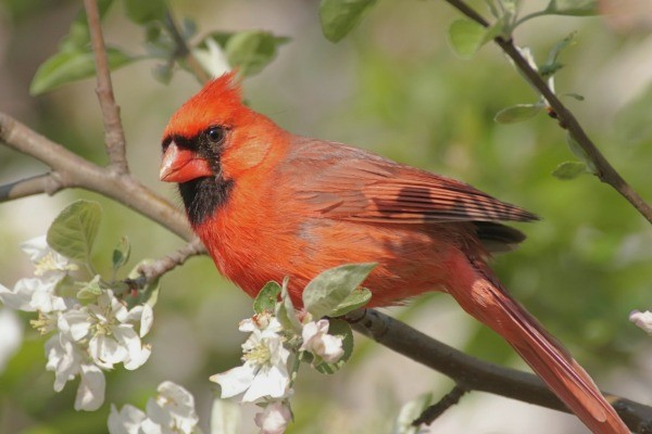 Cardinal in a tree.